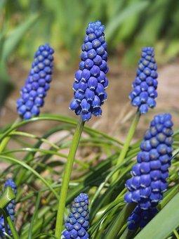 Muscari Neglectum, Blue, Flower, Garden