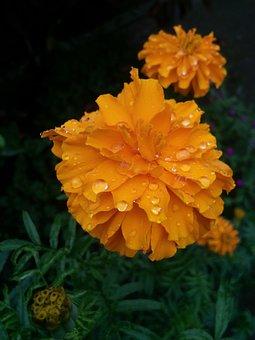 Marigold Flower Image, Marigold, Orange Marigold
