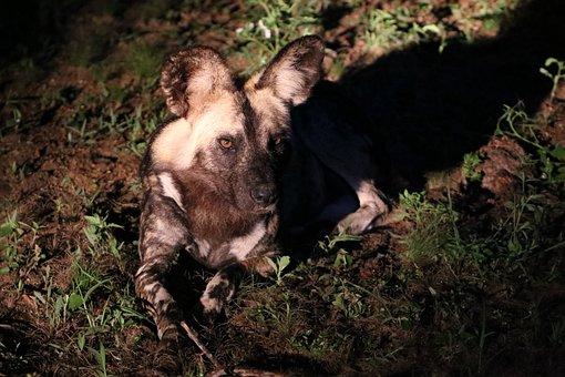 Wildehond, Ears, Africa, Night, Safari, Mammal