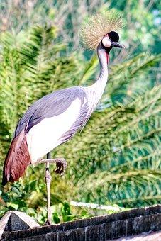 Balearica, Regulorum, Bird, Animal, Zoo