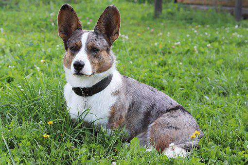 Dog, Corgi, Grass, Darling, Nature, Breed