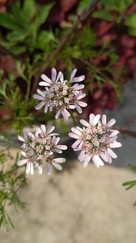 Flower, Seed, Coriander