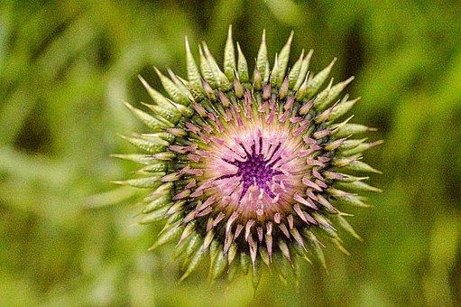 Thistle, Plant, Botany, Button, Flora, Plants, Flower
