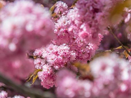 Pink, Flower, Tree, Nature, Cherry, Spring, Pučanie