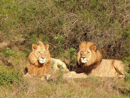 Lion, South Africa, Africa, Safari, Wildcat, Predator