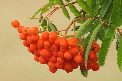 Mountain Ash, Fruits, Berries, Ash, Nature, Orange