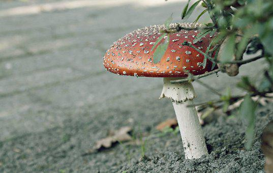Mushroom, Plant, Weed, Autumn, Gift, Red Head