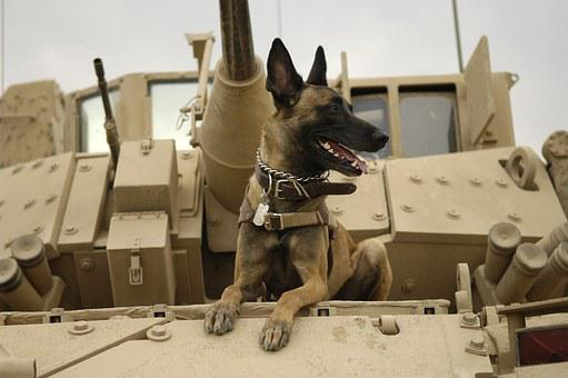 Dog, Tank, Army, Malinois, Belgian Shepherd Dog