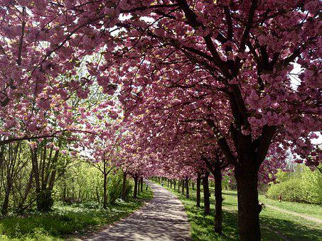 Cherry Blossom, Berlin, Bloom, Spring, Pink, Mauerpark