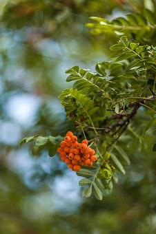 Mountain-ash, Ashberry, Berry, Orange, Plant, Nature