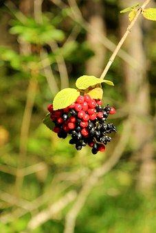 Berries, Rowanberries, Red, Bush, Nature, Mountain Ash