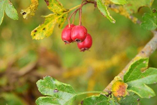 Rowanberries, Red, Berries, Nature, Bush, Mountain Ash