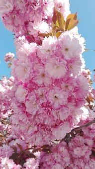 Cherry Blossom, Yantai, Flower, Late Spring