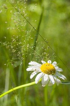 Summer, Daisy, Flower, Flowers, Chamomile, White
