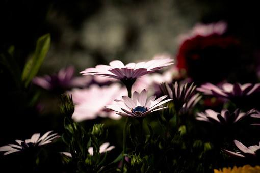 African Daisy, Flower, Filter, Dark, Pink Petals