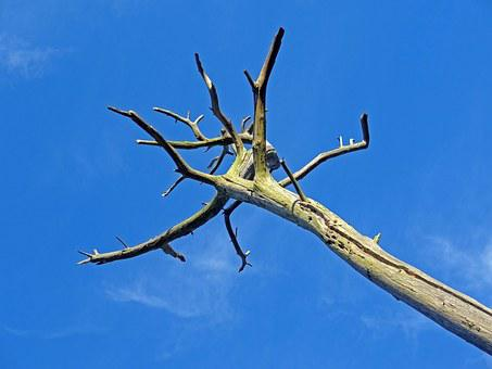 Dying Tree, Death, Drought, Pine, Heat, Die Off, Tribe