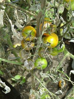 Tomato, Blight, Disease, Garden, Late Blight, Advanced