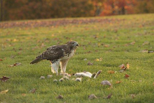 Eagle, Kill, Bird, Prey, Beak, Nature, Predator, Animal