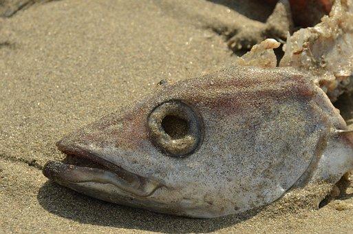 Fish, Death, Perish, Head, Fish Head, Eye Socket, Gill