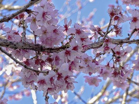 Cherry, Cherry Blossom, Nature, Flourish, Flowers