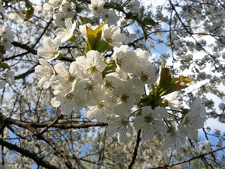 Cherry Blossoms, Flowers, Flowering Twig, White, Spring