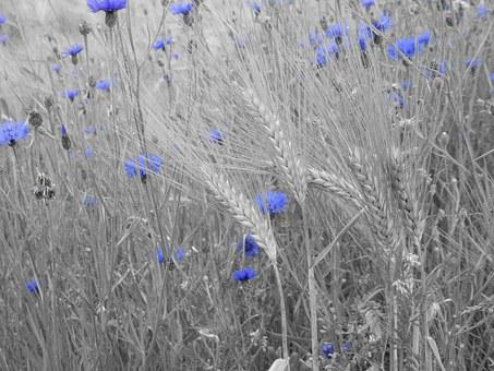 Field, Flowers, Plant, Nature, Blue, Black And White