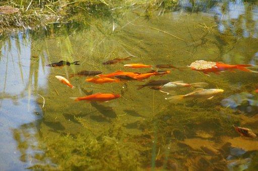 Pond, Garden Pond, Goldfish, Cold Water, Nature, Garden