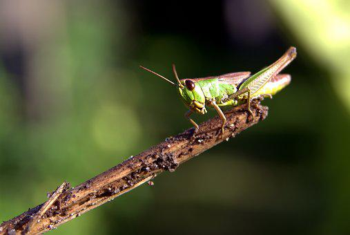 Grasshopper, Green, Insect, Konik, Macro, Nature