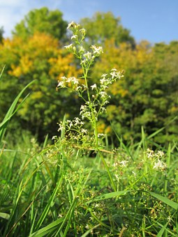Galium Mollugo, Hedge Bedstraw, False Babys Breath