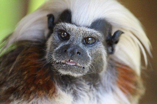 Liszt äffchen, Monkey, Animal, Iroquois