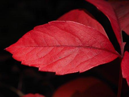 Wine Partner, Leaf, Red, Ordinary Jungfernrebe, Wine