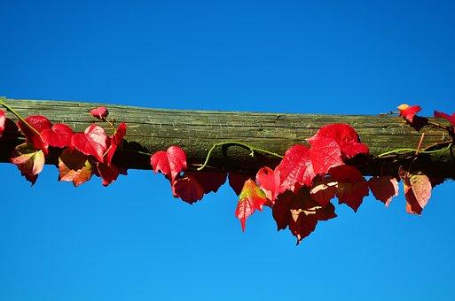 Vine, Wine Partner, Sky, Blue Sky, Autumn, Leaf, Branch