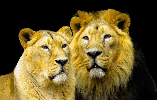 Lion, Cohesion, Partner, Mane, Cat, Predator, Big Cat