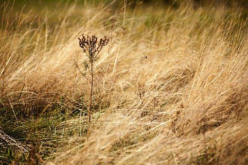 Autumn, Dry Grass, Nature, Weed, Meadow, Pováľaná