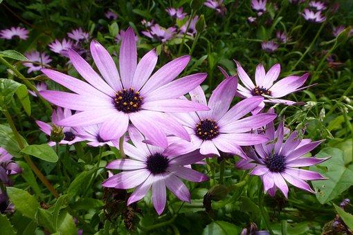 Purple Flowers, Plant, Petal, African Daisy