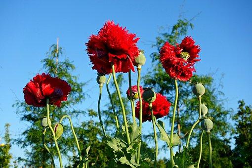 Poppy, Papaver, Plant, Flower, Papaveraceae, Opium