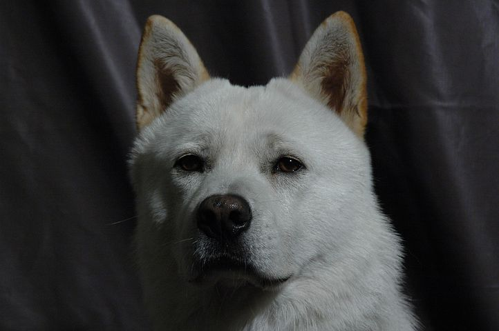 Progress, Korean Jindo Dog, Dog