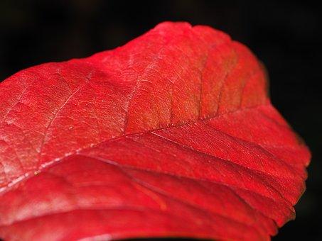 Leaf, Red, Ordinary Jungfernrebe, Wine Partner, Wine
