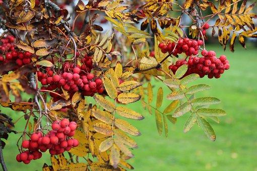 Rowan, Autumn, Nature, Plant, September