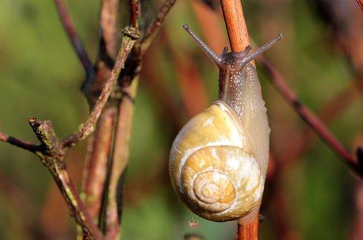Shell, Snail, Garden Bänderschnecke, Cepaea Hortensis
