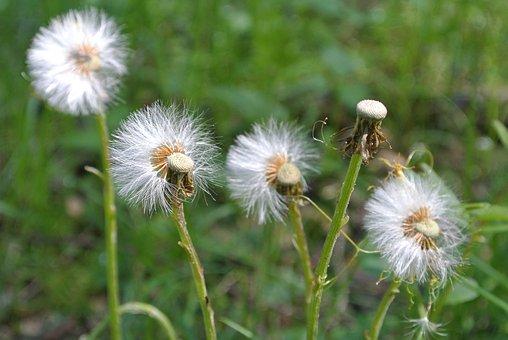 Dandelion, Wind, Blowing, Spring, Nature, Weed, Breeze