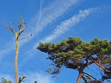 Pine, Pine Forest, Desert, Steppe, Dying Tree, Death