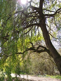 Willow, Tree, Sunlight, Willow Tree, Nature, Leaves