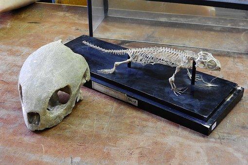 Hawksbill, Haterii, Skull, Turtle, Rhynchocephalia
