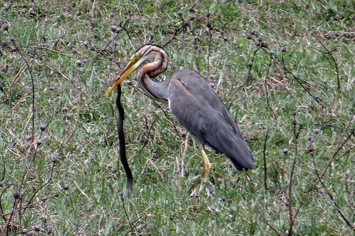 Purple Heron, Ardea Purpurea, Wader, Heron, Bird, Kill