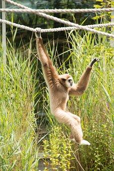 Gibbon, Monkey, White, Hell, Zoo, Animal World, Mammal