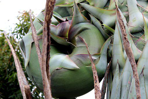 Agave Tequilana Plant Close Up, Plant, Background
