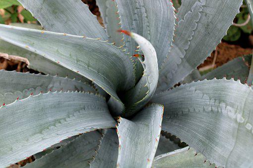 Agave Tequilana Plant Leaves, Plant, Background