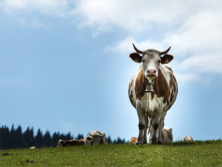 Cow, Meadow, Black Forest, Nature, Cows, Beef, Animal