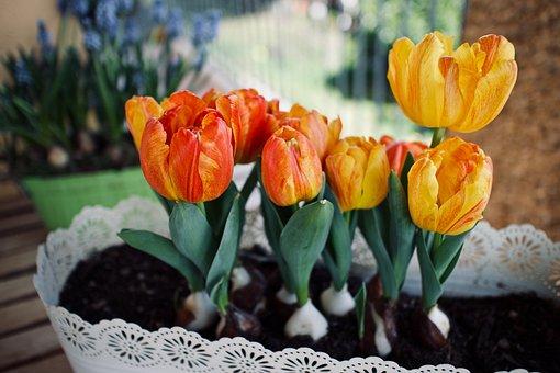 Flowers, Tulips, Bulbs, Garden, Spring